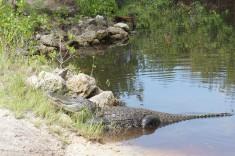 En alligator i Everglades Florida