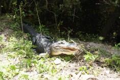 Alligator i Nationalparken Everglades Florida