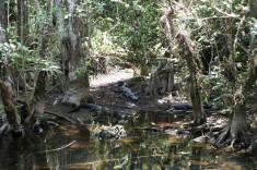 Everglades träskmark i Florida